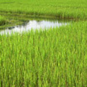 Rice Paddy Field In Siem Reap Cambodia Print by Julia Hiebaum