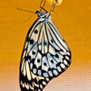 Rice Paper Out From Chrysalis Art Print