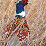 Ring-necked Pheasant  Art Print