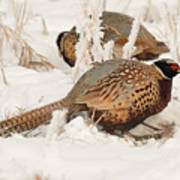 Ring-necked Pheasant Hunting In The Snow Art Print