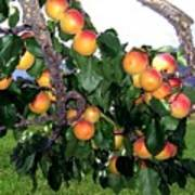 Ripe Apricots Art Print