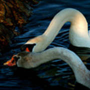 River Bank Swans Nature Pictures For Sale Art Print