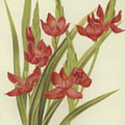 River Lily Or Crimson Flag Art Print