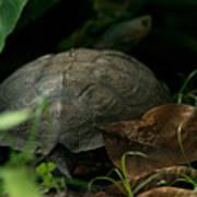 River Turtle 2 Art Print