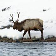 Riverside Elk Art Print