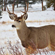 Rmnp Mule Deer 2 Art Print