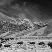 Roaming Bison In Black And White Art Print