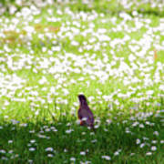 Robin In A Field Of Daisies Art Print
