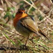 Robin In Hedgerow 2 Inch Donegal Art Print