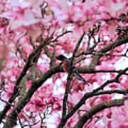 Robin In Magnolia Tree Art Print