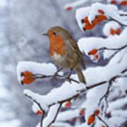 Robin On Snow-covered Rose Hips Art Print
