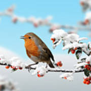 Robin On Snowy Cotoneaster Art Print