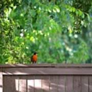 Robin On The Backyard Fence Art Print