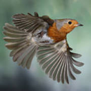 Robin On The Wing Art Print