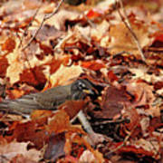 Robin Playing In Fallen Leaves Art Print
