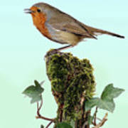 Robin Singing On Ivy-covered Stump Art Print