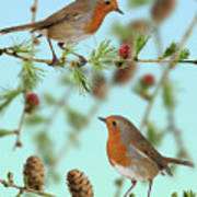 Robins On Larch Art Print