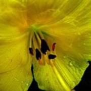 Rob's Yellow Lily Art Print