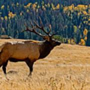 Rocky Mountain Bull Elk Art Print