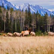 Rocky Mountain Elk In The Rockies Art Print