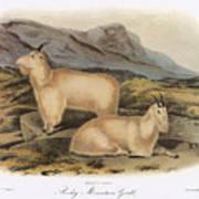 Rocky Mountain Goats Art Print