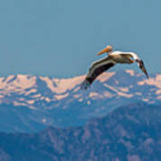 Rocky Mountain Pelican Art Print