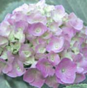Romantic Pink Hydrangea Art Print
