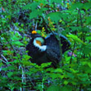 Rooster Grouse Posing Art Print