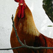 Rooster In Miami Backyard Art Print