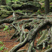 Roots On The Forest Floor Art Print