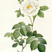 Rosa Alba Flore Pleno Art Print by Pierre Joseph Redoute