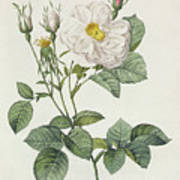 Rosa Alba Foliacea Art Print