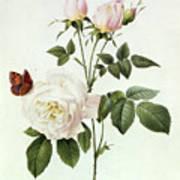 Rosa Bengale The Hymenes Art Print