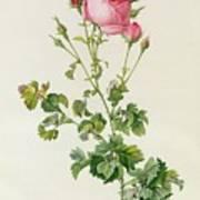 Rosa Centifolia Bipinnata Art Print