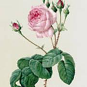 Rosa Centifolia Bullata Art Print
