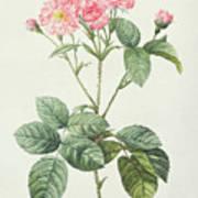 Rosa Centifolia Caryophyllea Art Print