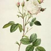 Rosa Centifolia Mutabilis Art Print