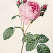 Rosa Centifolia Art Print