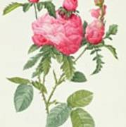 Rosa Centifolia Prolifera Foliacea Art Print by Pierre Joseph Redoute