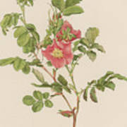 Rosa Cinnamomea The Cinnamon Rose Art Print