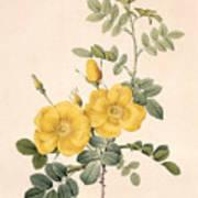 Rosa Eglanteria Art Print by Pierre Joseph Redoute