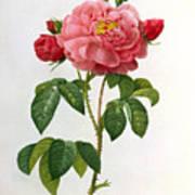 Rosa Gallica Aurelianensis Art Print by Pierre Joseph Redoute