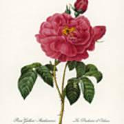 Rosa Gallica Art Print