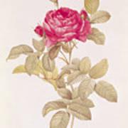 Rosa Gallica Pontiana Art Print by Pierre Joseph Redoute