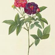 Rosa Gallica Purpurea Velutina Art Print by Pierre Joseph Redoute