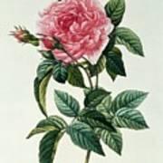 Rosa Gallica Regalis Print by Pierre Joseph Redoute