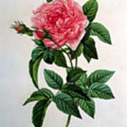 Rosa Gallica Regallis Art Print