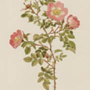 Rosa Involuta Var Wilsoni Art Print