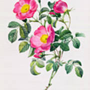 Rosa Lumila Print by Pierre Joseph Redoute