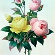 Rosa Lutea And Rosa Indica Art Print by Pierre Joseph Redoute